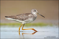 Greater Yellowlegs striding across a mudflat