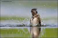 Least sandpiper bathing (6381)