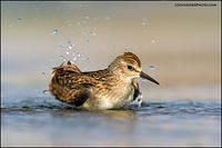 Least sandpiper bathing (6613)