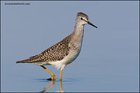 Lesser Yellowlegs in calm water (5950)