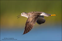 Lesser Yellowlegs calling in flight