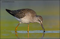 Lesser Yellowlegs with food (7007)