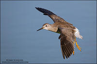 Lesser Yellowlegs (Tringa flavipes) in flight with wings flared