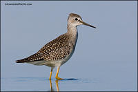 Lesser Yellowlegs look back (5947)