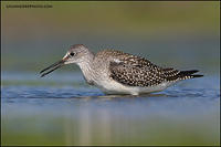 Lesser Yellowlegs with prey (6250)
