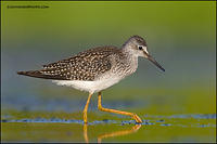 Lesser Yellowlegs probing (6943)