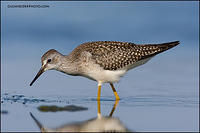 Lesser Yellowlegs looking for prey (6008)