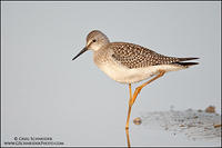 Lesser Yellowlegs stretching