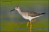 Lesser Yellowlegs walking (6803)