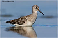 Lesser Yellowlegs in deep water