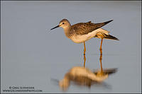 Lesser Yellowlegs stretching its wings at sunset