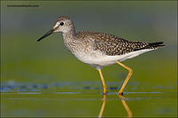 Lesser Yellowlegs (6618)