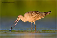 Marbled Godwit eating leeches