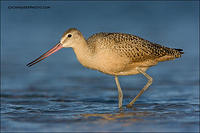 Marbled Godwit foraging in shallow water