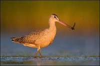 Marbled Godwit with leech