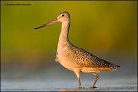 Marbled Godwit look back
