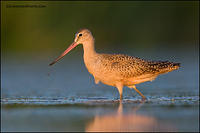 Marbled Godwit near sunset