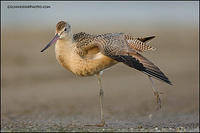 Marbled Godwit wingstretch