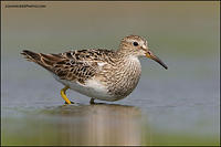 Pectoral Sandpiper stretching
