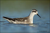 Juvenile Red-necked Phalarope swimming