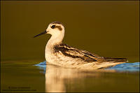 Red-necked Phalarope at sunset