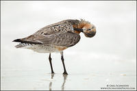 Red Knot preening