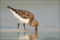 Sanderling foraging along beach