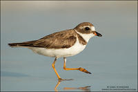 Semi-palmated Plover strutting across beach