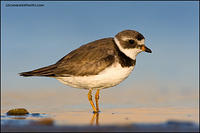 Semipalmated Plover at dusk (5863)