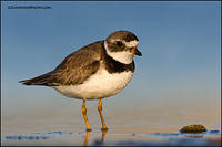 Semipalmated Plover at dusk