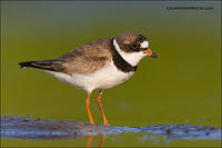 Semipalmated Plover on mudflat