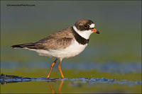 Semipalmated Plover walking
