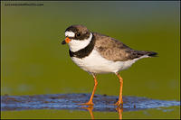 Semipalmated Plover (7077)