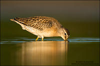 Short-billed Dowitcher feeding at sunset