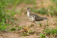 Spotted Sandpiper in field (3995)
