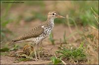 Spotted Sandpiper (4012)