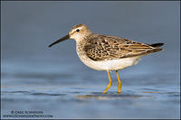 Stilt Sandpiper (non-breeding plumage)