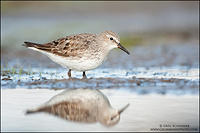 White-rumped Sandpiper in overcast light