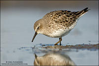 White-rumped Sandpiper foraging on a mudflat