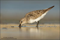 Foraging White-rumped Sandpiper