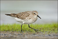 White-rumped Sandpiper walking across a mudflat