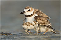 Wilson's Plover brooding her chicks