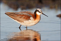 Wilson's Phalarope in flooded field