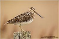 Wilson's Snipe perched on fencepost