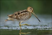 Wilson's Snipe walking in marsh