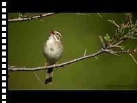 Clay-Colored Sparrow preening and singing (video)