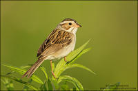 Clay-colored Sparrow on grasses at dawn