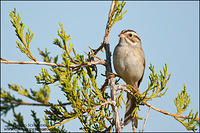 Clay-colored Sparrow perched on cedar