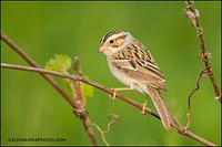 Clay-Colored Sparrow male