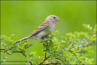 Field Sparrow in field habitat